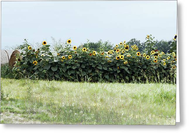 Hay Bales Greeting Cards - Hay Bales and Sunflowers Greeting Card by Cricket Hackmann