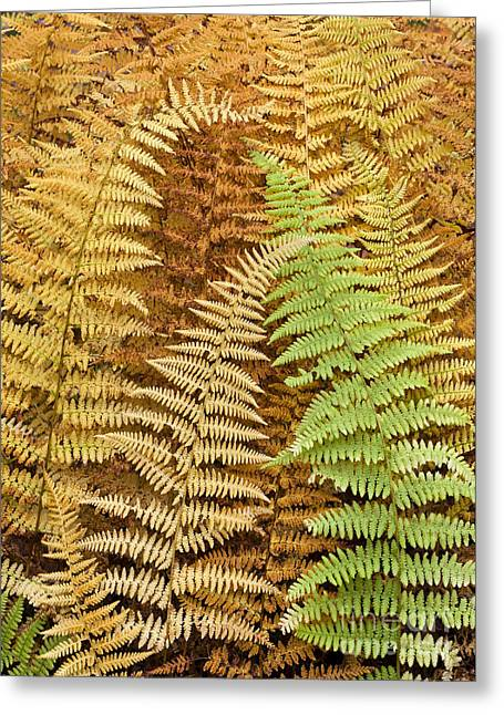 Hay-scented Ferns Greeting Card by Alan L Graham