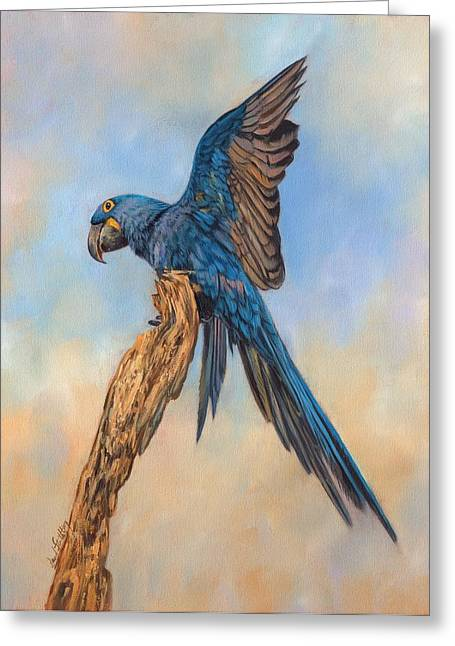 Blue Macaws Greeting Cards - Hayacinth Macaw Greeting Card by David Stribbling