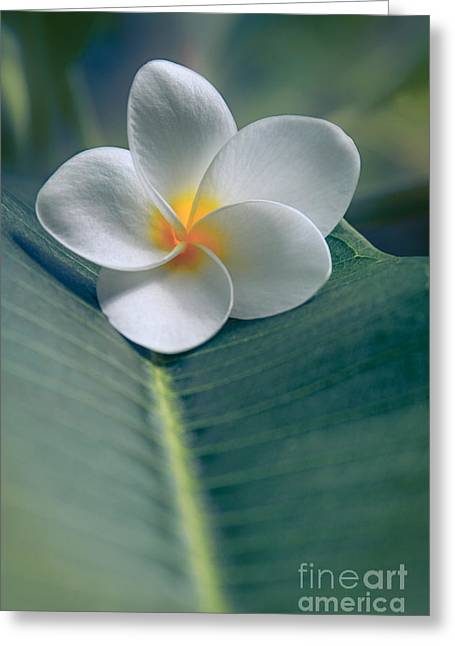 Beautiful Flowering Trees Greeting Cards - He Aloha no O Waianapanapa - White Tropical Plumeria - Hawaii Greeting Card by Sharon Mau