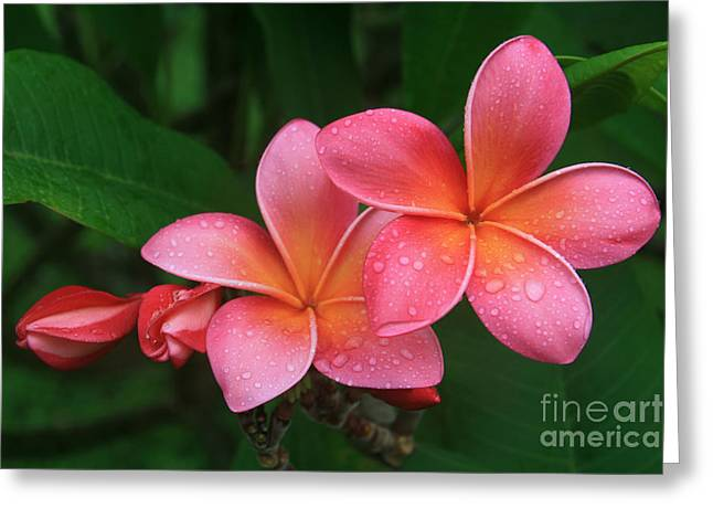 Plumeria Greeting Cards - He pua laha ole Hau oli Hau oli oli Pua Melia hae Maui Hawaii Tropical Plumeria Greeting Card by Sharon Mau