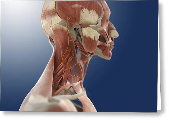 Occipital Greeting Cards - Head anatomy, artwork Greeting Card by Science Photo Library