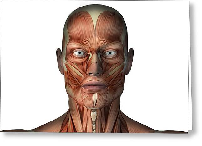 Tendon Greeting Cards - Head musculature, artwork Greeting Card by Science Photo Library