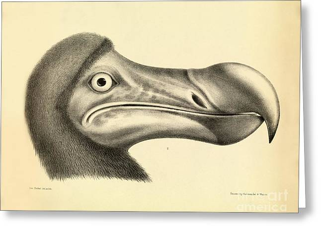 Dodo Bird Greeting Cards - Head Of A Dodo, 1848 Artwork Greeting Card by Royal Institution Of Great Britain