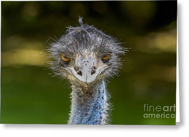 Ostrich Feathers Greeting Cards - Head of ostrich Greeting Card by Patricia Hofmeester