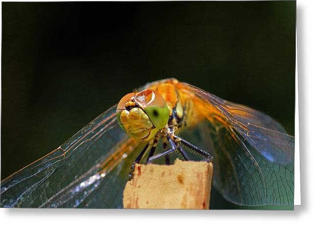 Dragonflies Greeting Cards - Head On Collision? Greeting Card by Donna Kennedy