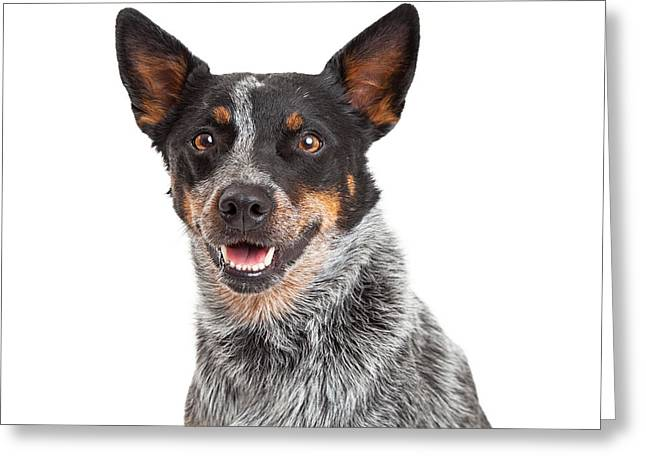 Australian Cattle Dog Greeting Cards - Head Shot Of An Australian Cattle Dog Greeting Card by Susan  Schmitz