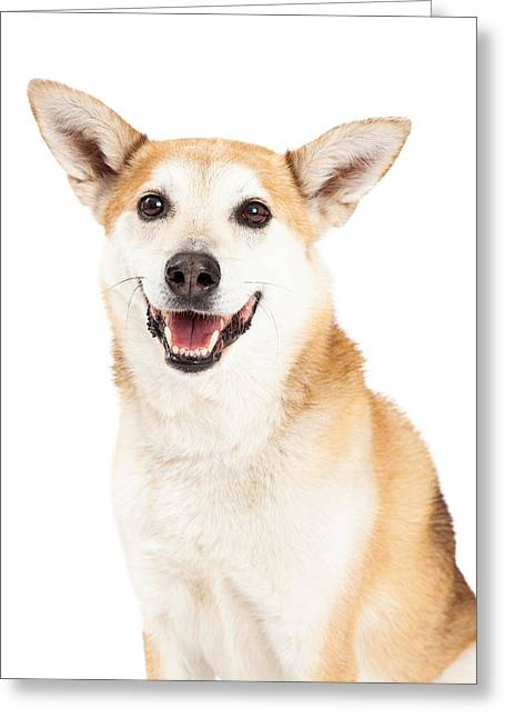 Inu Greeting Cards - Head Shot of  Australian Cattle and Shiba Inu  Mix Dog Greeting Card by Susan  Schmitz