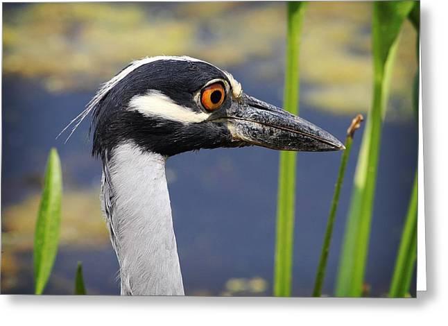 Tn Greeting Cards - head shot - Yellow crowned Night Heron Greeting Card by TN Fairey