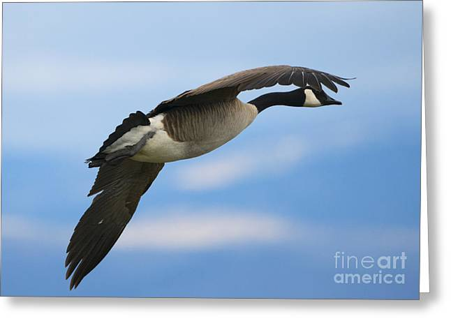 Canadian Goose Greeting Cards - Heading North Greeting Card by Mike Dawson