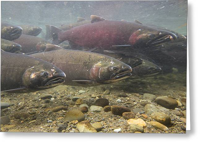 Coho Salmon Greeting Cards - Heading Up River Greeting Card by Tim Grams