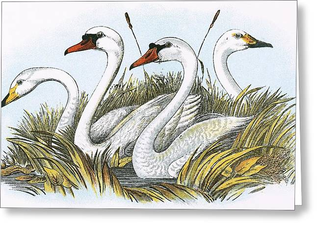 Swans... Greeting Cards - Heads Of Species Of British Swans Greeting Card by English School