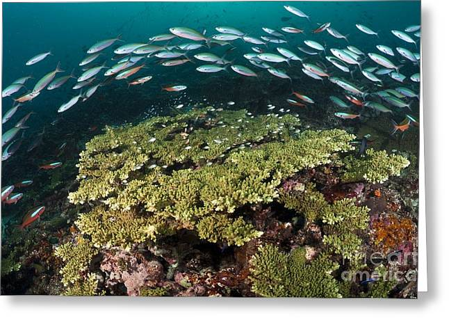 Fusilier Fish Greeting Cards - Healthy Hard Corals Surrounded Greeting Card by Matthew Oldfield