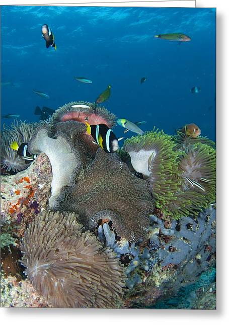 Amphiprion Clarkii Greeting Cards - Healthy reef scene with anemonefish Greeting Card by Science Photo Library