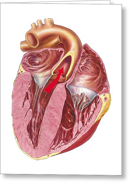 Ventricles Greeting Cards - Heart anatomy, artwork Greeting Card by Science Photo Library
