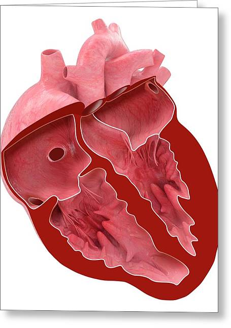Heart Anatomy Greeting Card by Claus Lunau