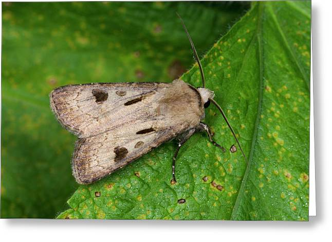 Heart And Dart Moth Greeting Card by Nigel Downer