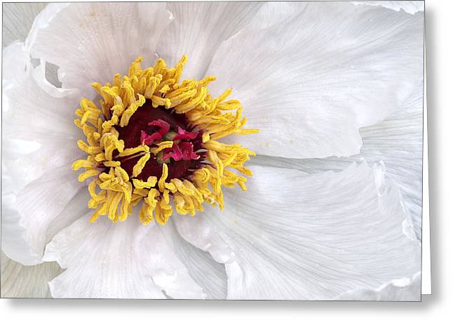 Garden Petal Image Greeting Cards - Heart of the Tree Peony Greeting Card by Gill Billington