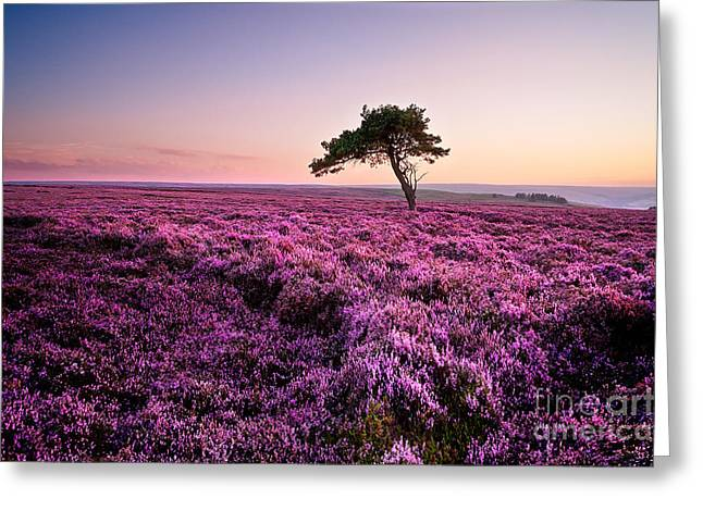 Tree Greeting Cards - Heather at Sunset Egton Moor Greeting Card by Janet Burdon