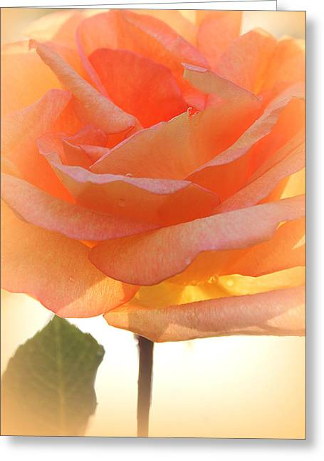 Artist Photographs Greeting Cards - Heavens Peach Rose Greeting Card by  The Art Of Marilyn Ridoutt-Greene