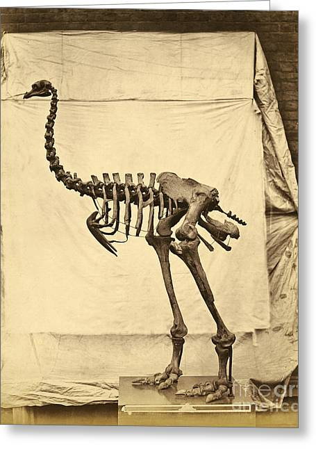 D.w. Greeting Cards - Heavy Footed Moa Skeleton Greeting Card by Getty Research Institute