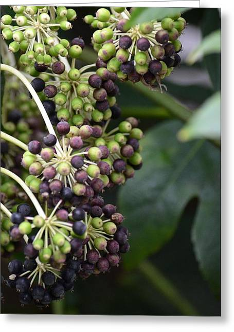 Maria Urso Greeting Cards - Hedera Helix Berries Greeting Card by Maria Urso