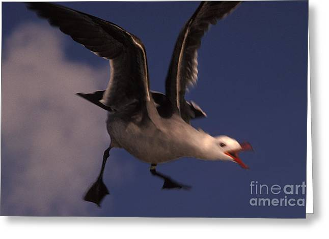 Flying Seagull Greeting Cards - Heermanns Gull In Flight Greeting Card by Ron Sanford