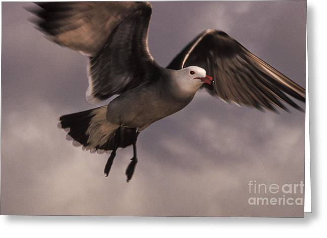 Flying Seagull Greeting Cards - Heermanns Gull Greeting Card by Ron Sanford
