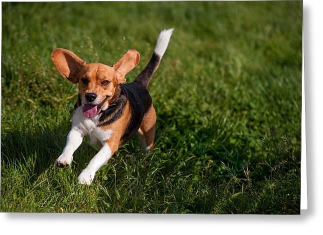 Running Dog Greeting Cards - Heey-Yaah. Happy Puppy Beagle Greeting Card by Jenny Rainbow
