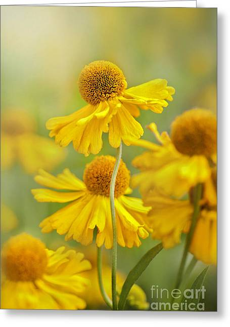 Sneezeweed Greeting Cards - Helenium Butter Pat Greeting Card by Jacky Parker