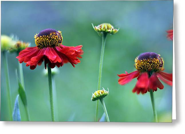 Dancing Petals Greeting Cards - Helenium Fields Greeting Card by Jessica Jenney