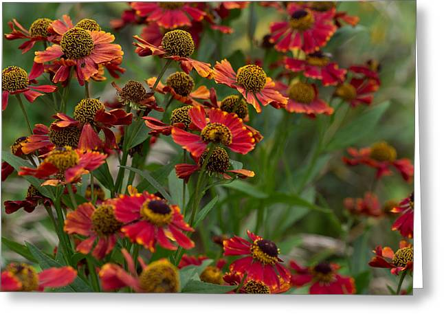 Helenium Autumnale Greeting Cards - Helenium Greeting Card by John Poltrack
