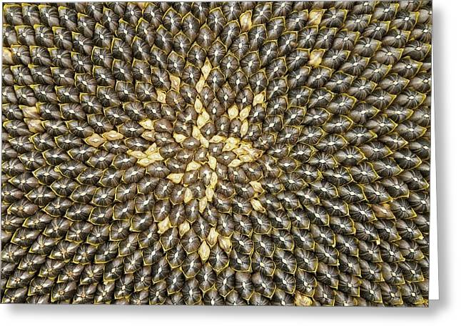 Helianthus Sunflower Seeds Close Up Greeting Card by Mark Sykes