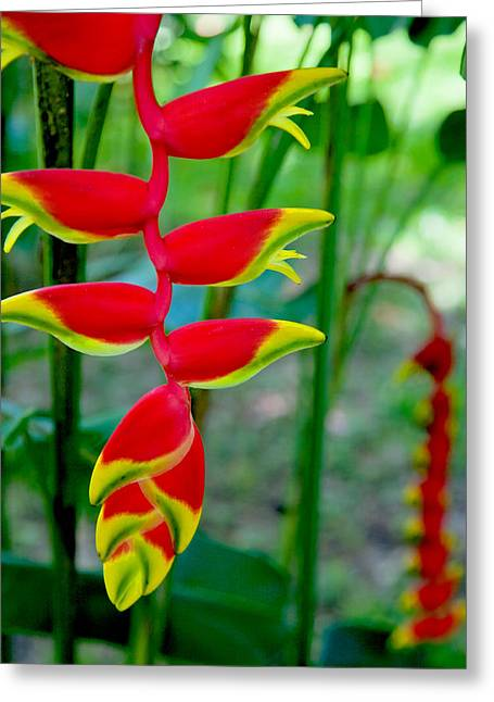 Mexican Flowers Greeting Cards - Heliconia--Flower in Chiapas Greeting Card by Matthew Bamberg