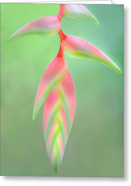 Heliconia Flower, Sarapiqui, Costa Rica Greeting Card by Panoramic Images
