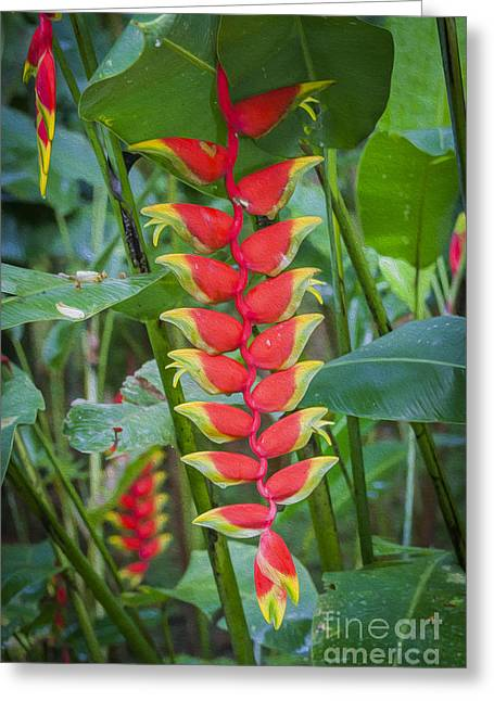 Heliconia Greeting Card by Patricia Hofmeester