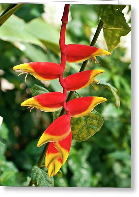 Heliconia Rostrata Greeting Card by Bjanka Kadic