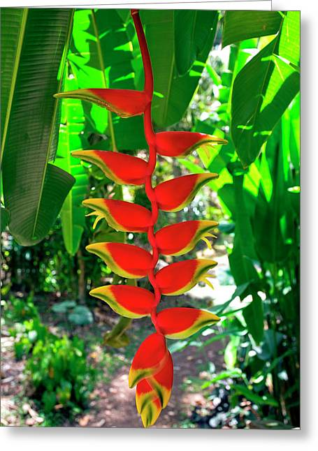 Heliconia Rostrata, Grenada, West Indies Greeting Card by Susan Degginger