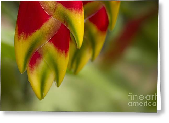 Tropical Birds Of Hawaii Greeting Cards - Heliconia rostrata Greeting Card by Sharon Mau