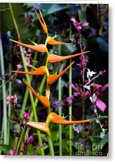 Zingiberales Greeting Cards - Heliconia Sp. Flowers Greeting Card by Tim Holt