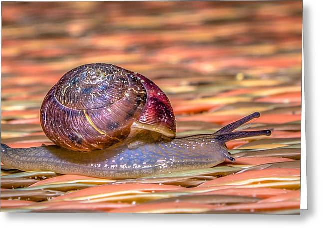 Helix Greeting Cards - Helix aspersa Greeting Card by Rob Sellers