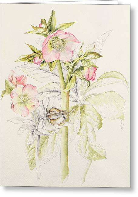 In Bloom Greeting Cards - Hellebores Greeting Card by Alison Cooper