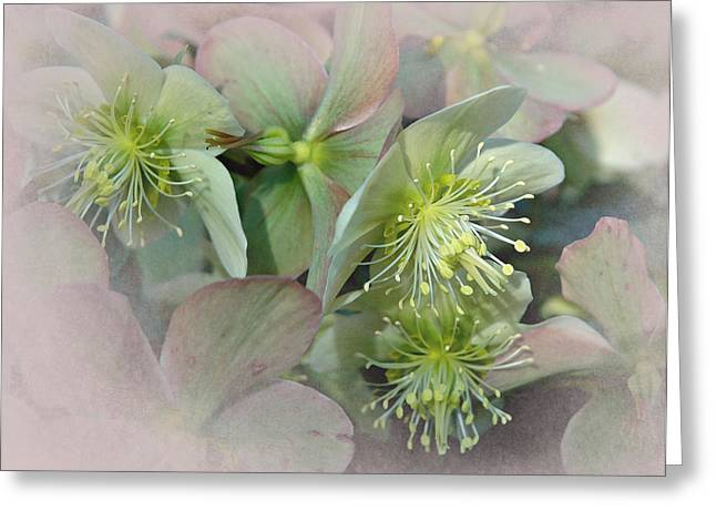 Pacific Northwest Digital Art Greeting Cards - Hellebores3 Greeting Card by Jeff Burgess