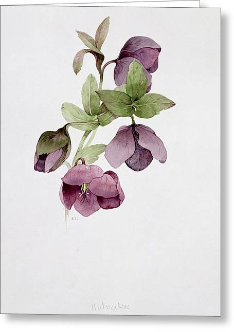 Botanical Greeting Cards - Helleborus atrorubens Greeting Card by Sarah Creswell