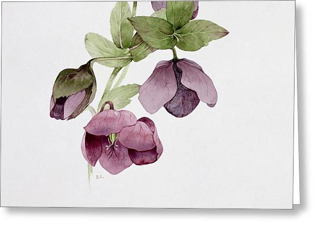 Helleborus atrorubens Greeting Card by Sarah Creswell