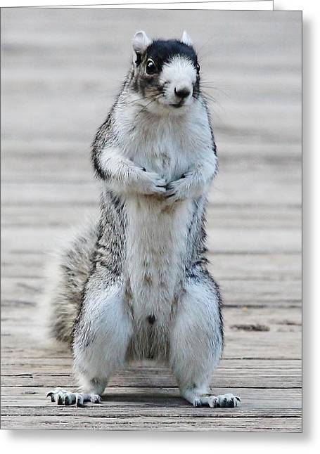Fox Squirrel Greeting Cards - Hello Greeting Card by Paulette Thomas
