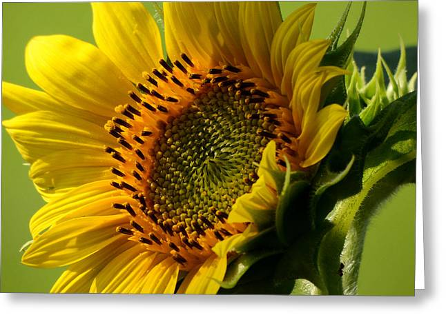 Yellow Sunflower Greeting Cards - Hello Sunshine Greeting Card by Nava  Thompson