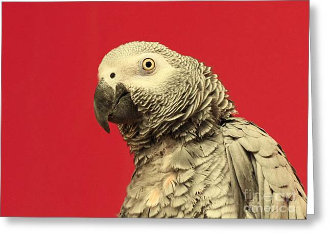 Shelley Myke Greeting Cards - Hello There - Amazon Gray Parrot  Greeting Card by Inspired Nature Photography By Shelley Myke