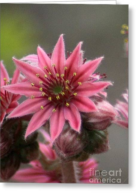 Hens And Chicks Photography Greeting Cards - Hen and Chick Flower Blooms Greeting Card by Mrsroadrunner Photography