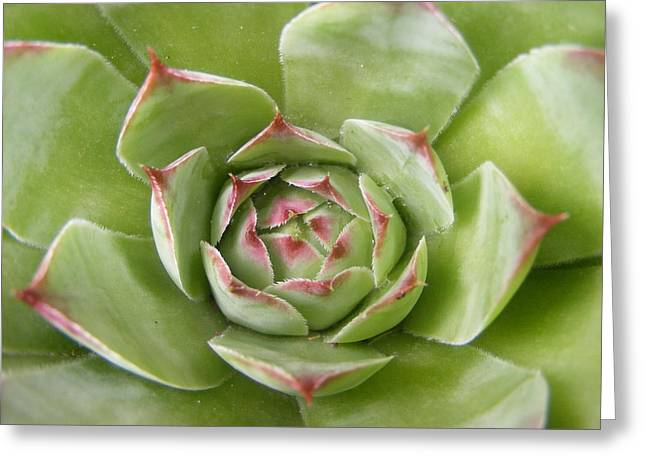 Hens And Chicks Photography Greeting Cards - Hen and Chick Greeting Card by Sarah Klessig